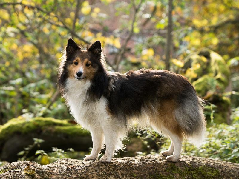 Shetland sheepdog kaufen - Hunde123.de