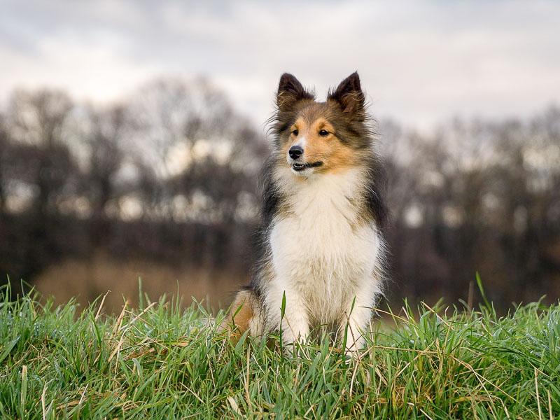 Sheltie temperament collie - Hunde123.de