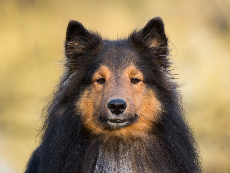 familienhund collie sheltie kaufen - - Hunde123.de