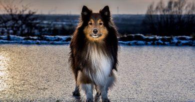 Sheltie Shetland Sheepdog temperament hunderasse mit bild - Hunde123.de