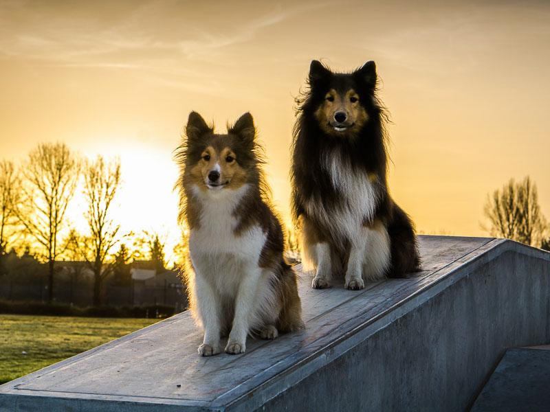 sheltie collie hunde gewicht größe info - Hunde123.de