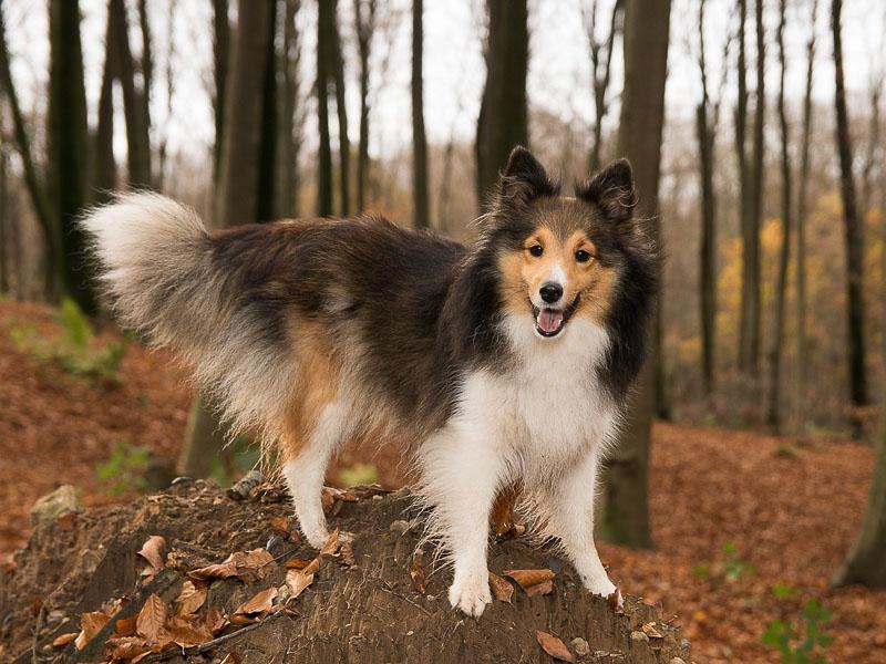 Shetland sheepdog erziehung - Hunde123.de