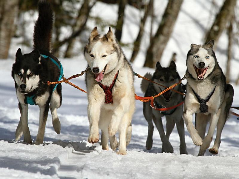 Siberian Husky information sport - Hunde123.de Hunderassen