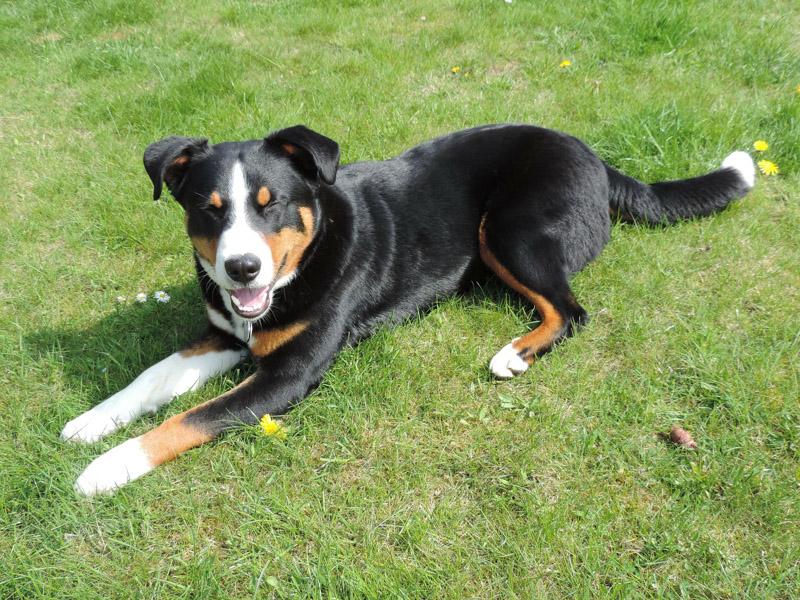 Appenzeller Sennenhund Krankheiten haltung - Hunde123.de Hunderassen