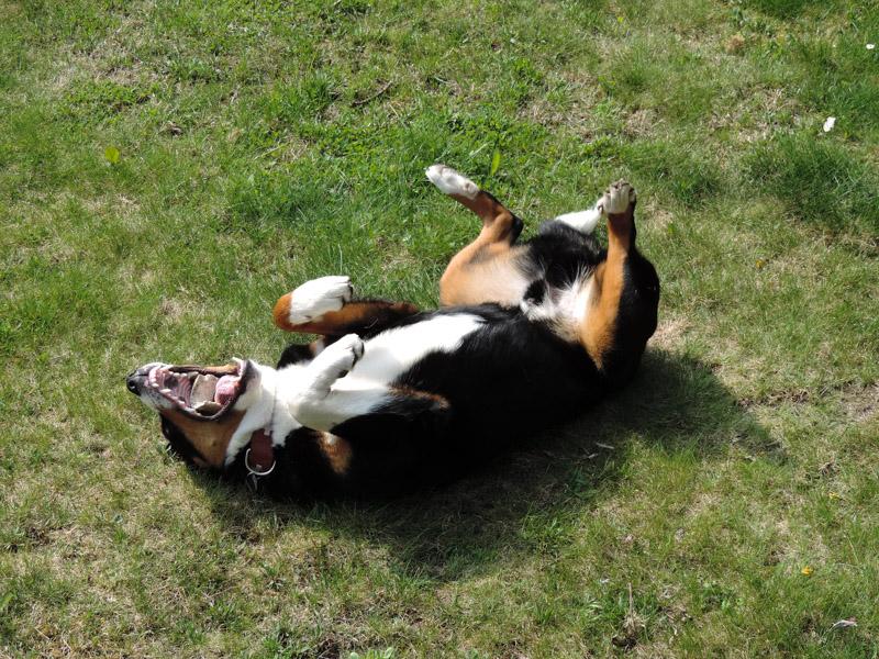 Appenzeller Sennenhund auslauf pflege lebenserwartung- Hunde123.de Hunderassen