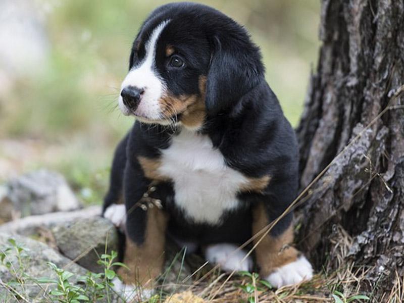 Appenzeller Sennenhund Welpe erziehung bilder - Hunde123.de Hunderassen