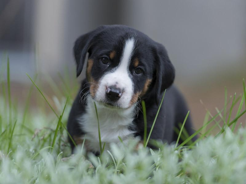 Appenzeller Sennenhund welpen kaufen züchter - Hunde123.de Hunderassen