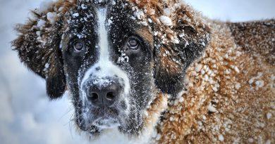 Hunderasse Bernhardiner Information kaufen - Hunde123.de Hunderassen