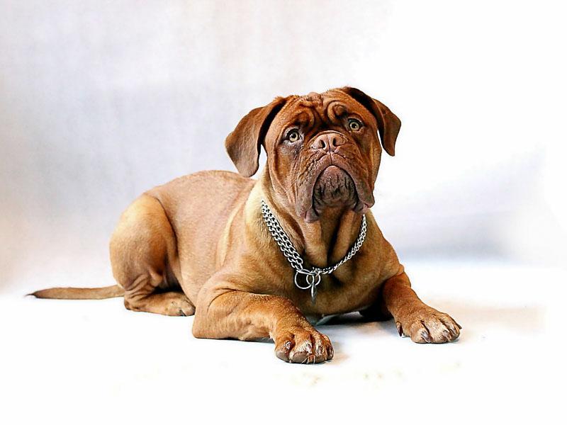 bordeaux dogge hunderassen mit bild - Hunde123.de