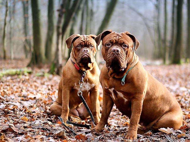 bordeaux dogge preis kauf - Hunde123.de