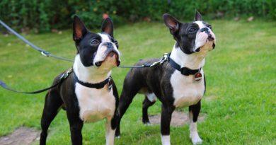 Boston Terrier Hunderasse Info charakter wesen - Hunde123.de