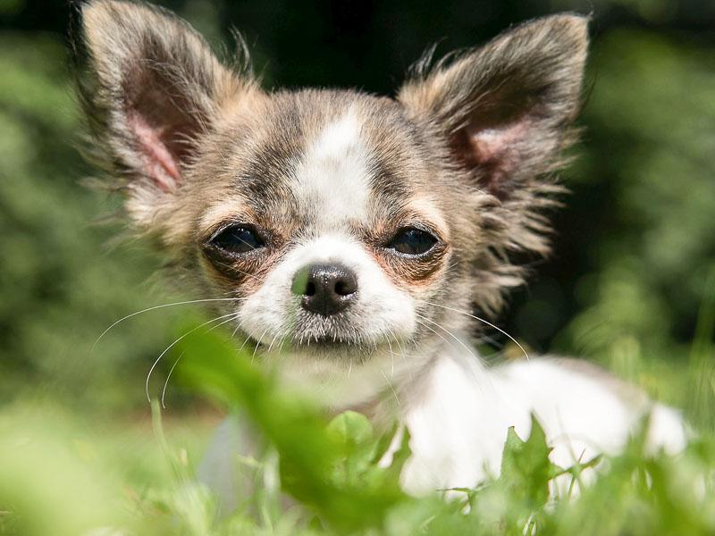 chihuahua chiwawa mini hunde bild - hunde123.de