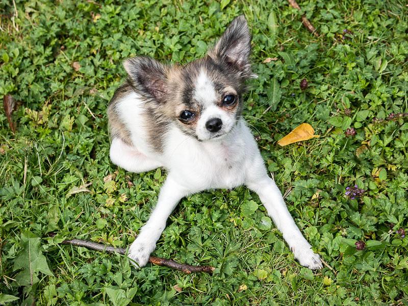 chihuahua mini kaufen - hunderasse mit bild - hunde123.de