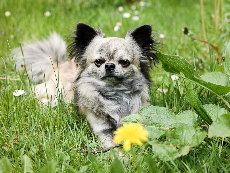 chihuahua langhaar - hunde123.de
