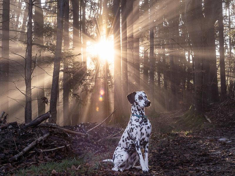 dalmatiner bilder hund - hunde123.de