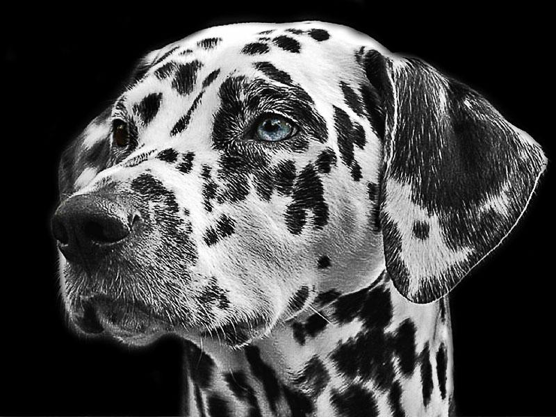 dalmatiner wesen zucht - hunderassen mit bilder - hunde123.de