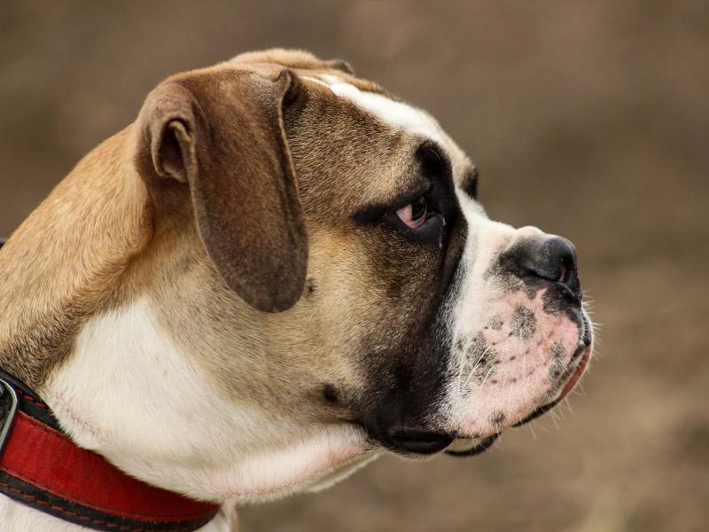 Englische Bulldogge charakter wesen - Hunde123.de Hunderassen