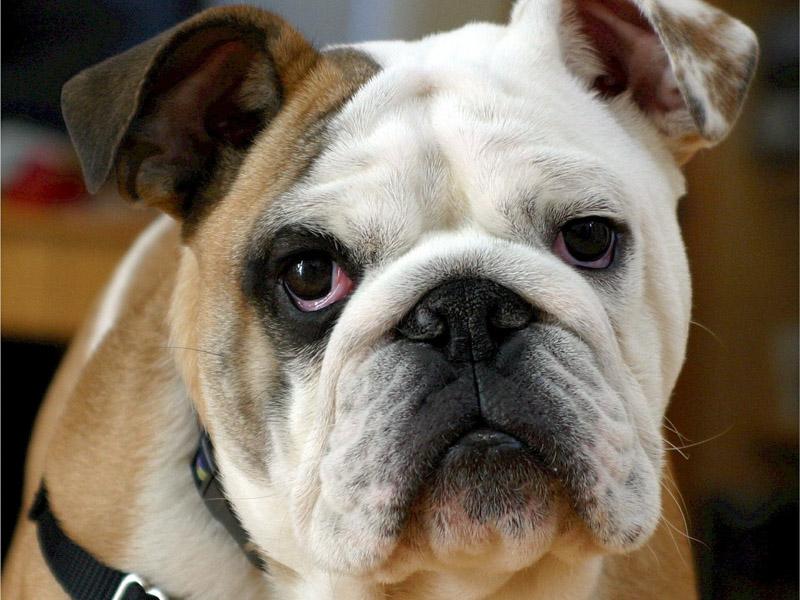 Englische Bulldogge Krankheiten haltung - Hunde123.de Hunderassen
