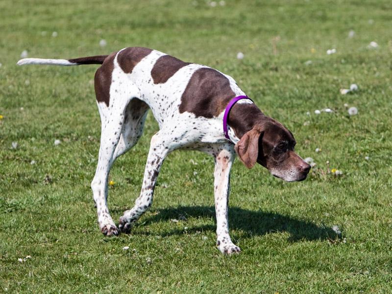 Hunderasse English Pointer Information kaufen - Hunde123.de Hunderassen