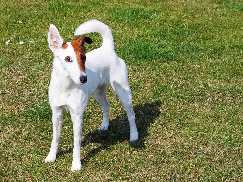 foxterrier charakater wesen kaufen - Bilder Hunde123.de