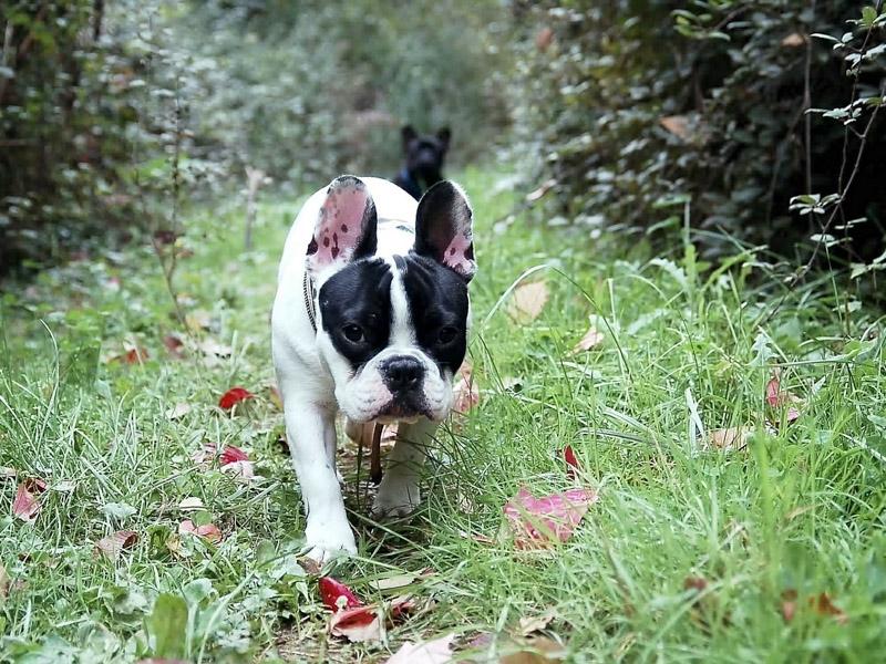 Französische Bulldogge Hunderasse Info - Hunde123.de