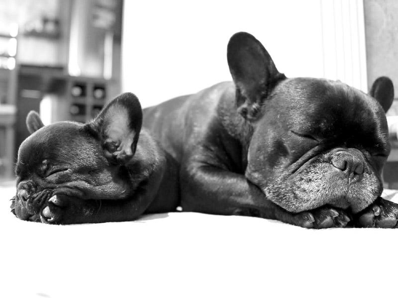 französische bulldogge welpen erziehung bilder - Hunde123 Hunderassen