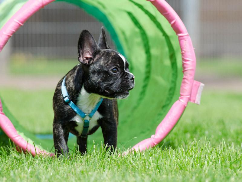 französische bulldogge zucht wesen erziehung bilder - Hunde123.de Hunderassen