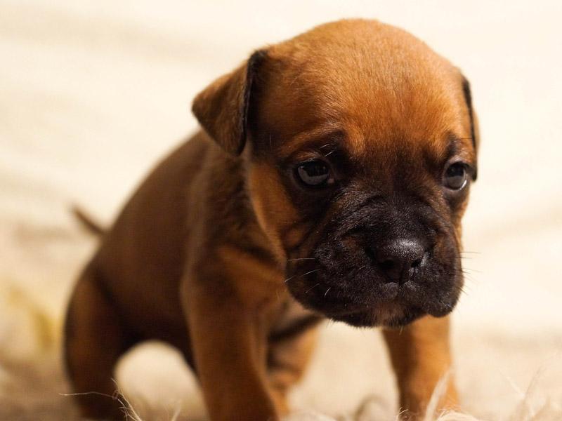 französische bulldogge welpen kaufen züchter - Hunde123.de Hunderassen