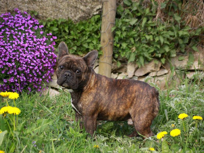 ranzösische bulldogge information wesen - Hunde123.de Hunderassen