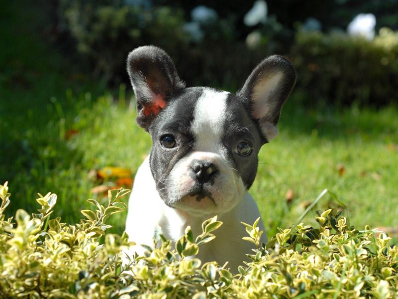 französische bulldogge fellpflege erziehung - Hunde123.de Hunderassen