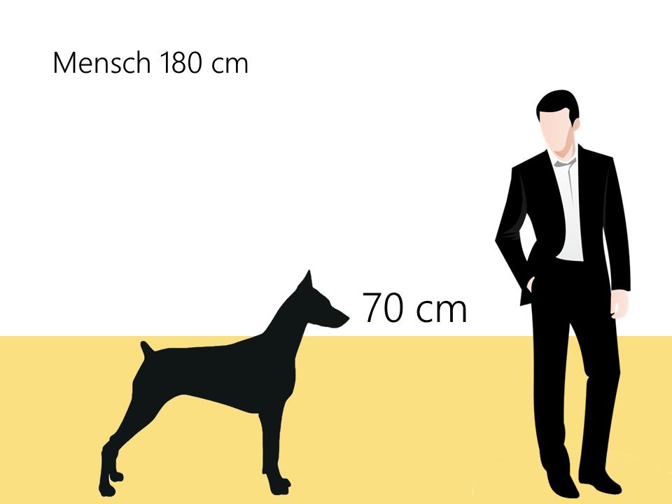 Dobermann Größe Größenvergleich Hundrassen Info - Hunde123.de
