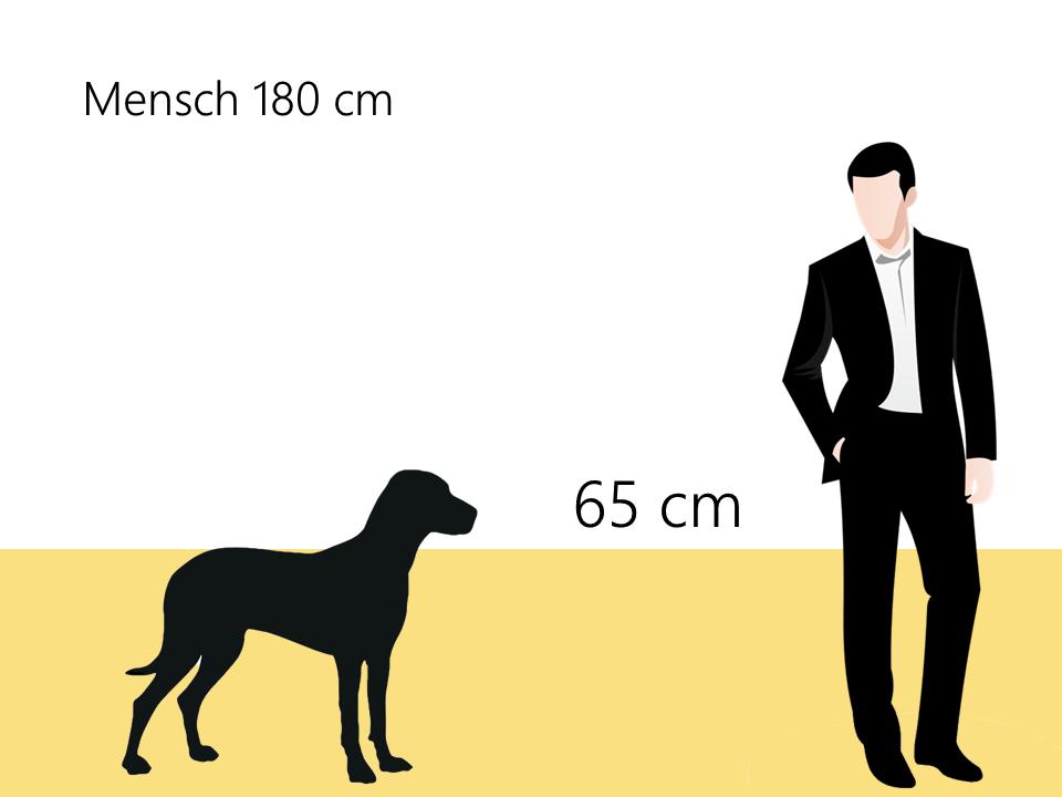 wie groß ist ein Weimaraner Größenvergleich Hunde Hunderasse - Hunde123.de