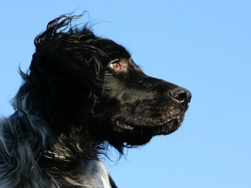 Großer Münsterländer wesen erziehung bilder - Hunde123.de Hunderassen