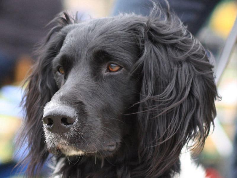 Großer Münsterländer auslauf pflege - Hunde123.de Hunderassen