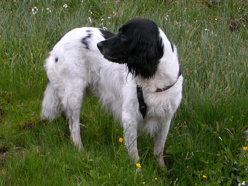 Großer Münsterländer Krankheiten Lebenserwartung - Hunde123.de Hunderassen