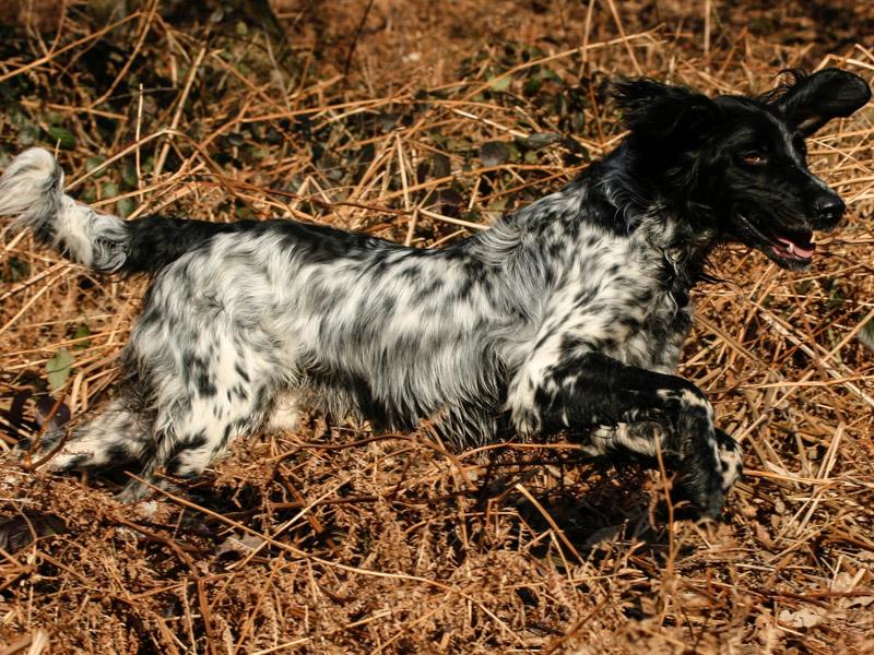 Großer Münsterländer welpen kaufen züchter - Hunde123.de Hunderassen