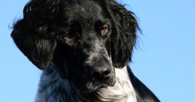 Großer Münsterländer Information kaufen - Hunde123.de Hunderassen