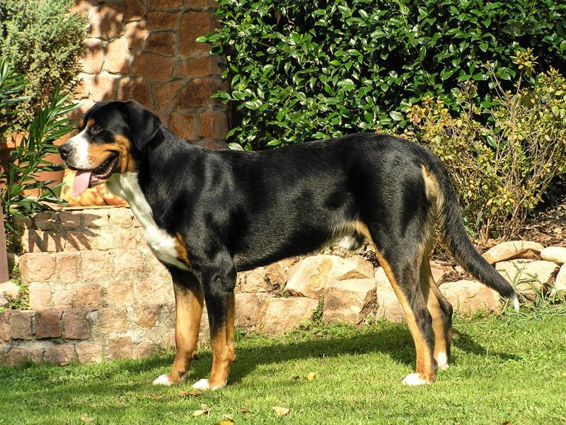 Großer Schweizer Sennenhund auslauf pflege - Hunde123.de Hunderassen