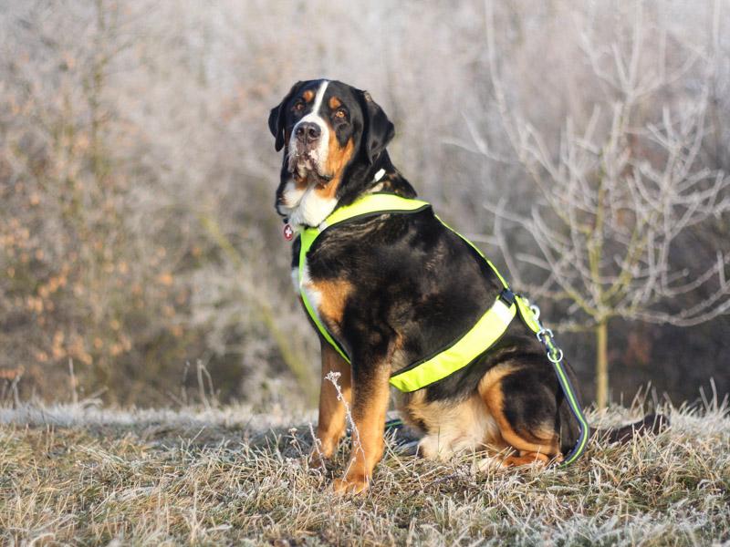 Großer Schweizer Sennenhund größe gewicht - Hunde123.de Hunderassen