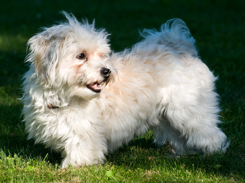 Havaneser Krankheiten Lebenserwartung - Hunde123.de Hunderassen