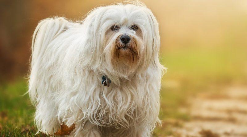 Havaneser Information kaufen - Hunde123.de Hunderassen