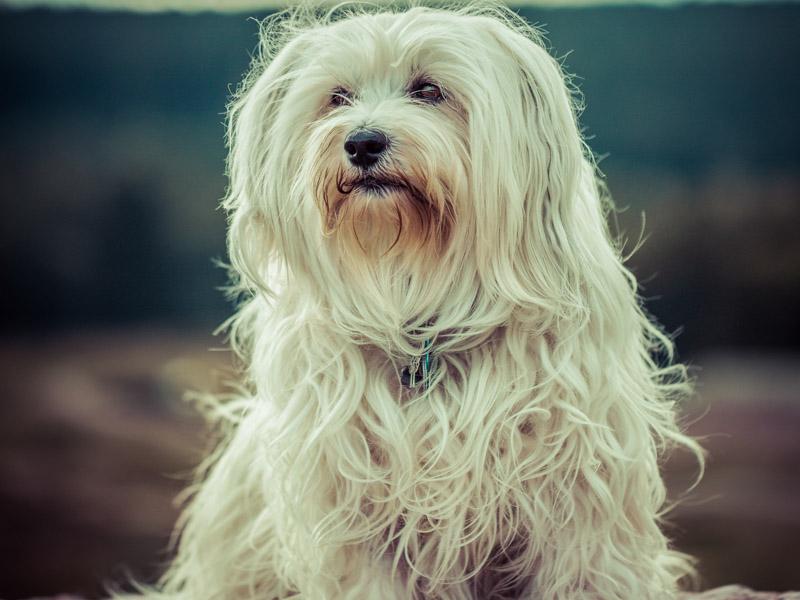 Havaneser wesen erziehung bilder - Hunde123.de Hunderassen