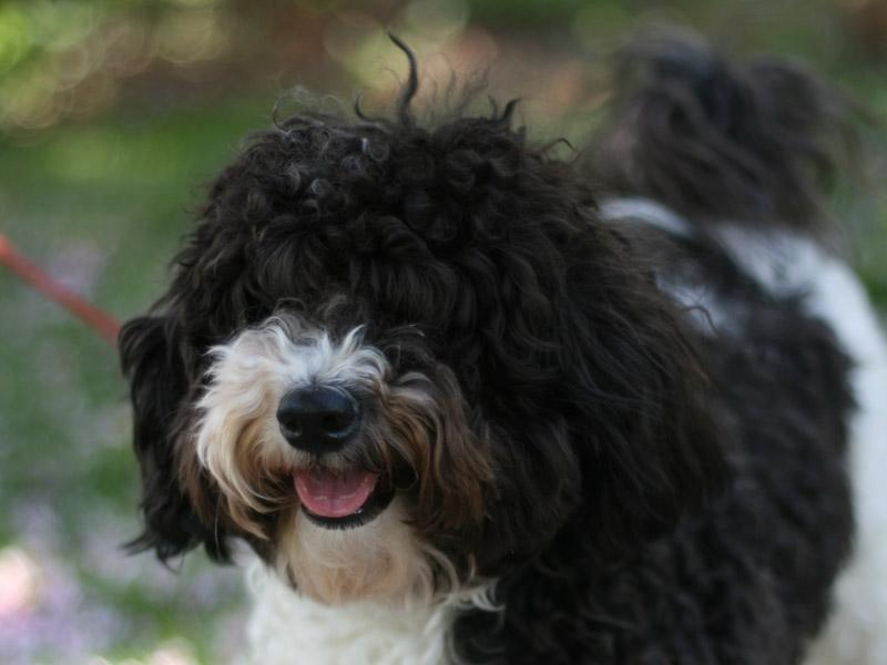 Havaneser welpen kaufen züchter - Hunde123.de Hunderassen