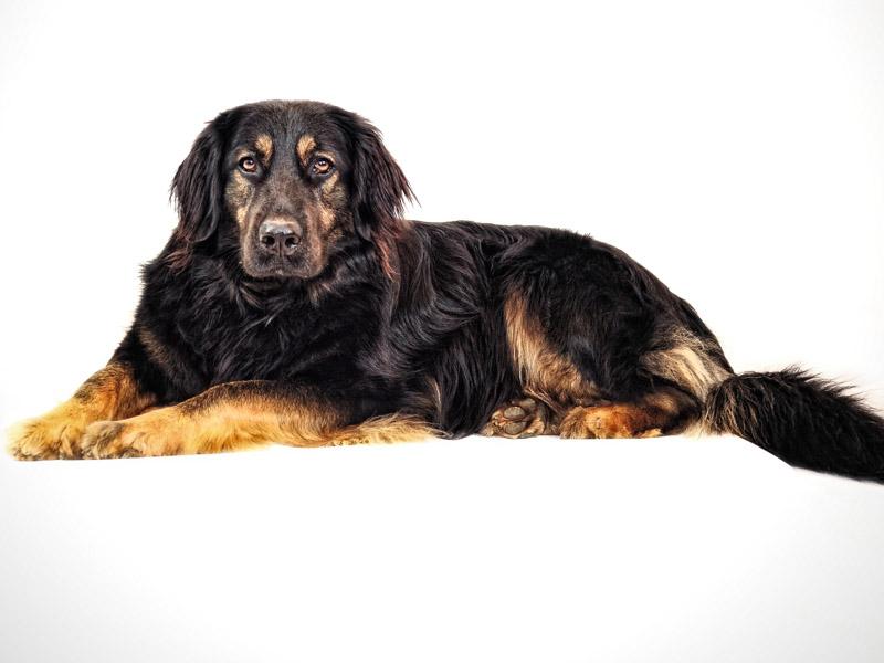 hovawart charakter wesen - Hunde123.de Hunderassen