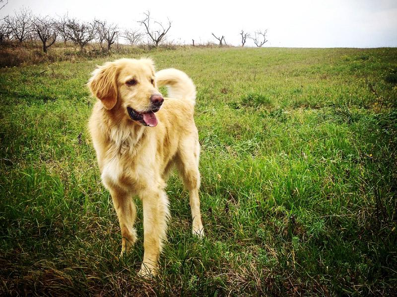 hovawart kaufen welpen - Hunde123.de Hunderassen