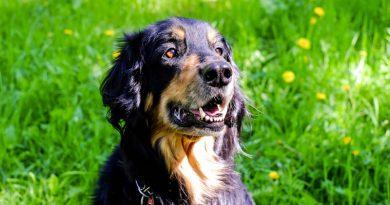 Hunderasse hovawart Information kaufen - Hunde123.de Hunderassen