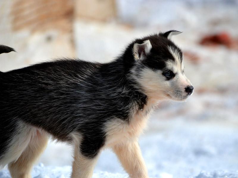Siberian Husky welpen kaufen züchter - Hunde123.de Hunderassen