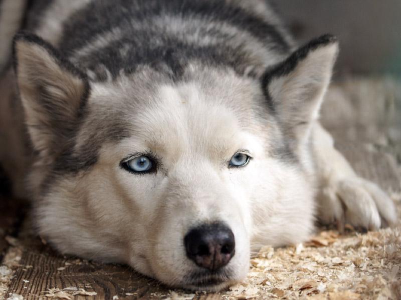 Siberian Husky information wesen - Hunde123.de Hunderassen