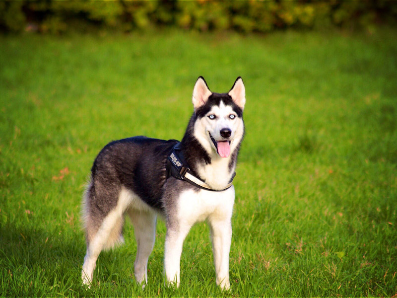 Siberian Husky hundesport wesen erziehung bilder - Hunde123.de Hunderassen
