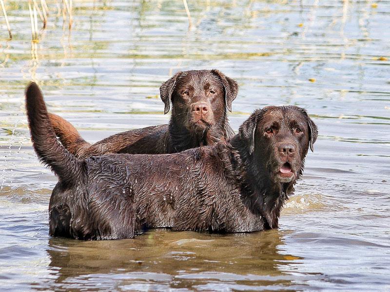 labrador braun apportierhund wasser- hunde123